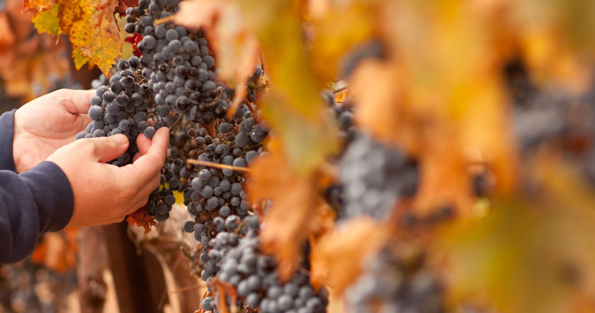 Wine and Harvest Experience in the Sierra Nevada