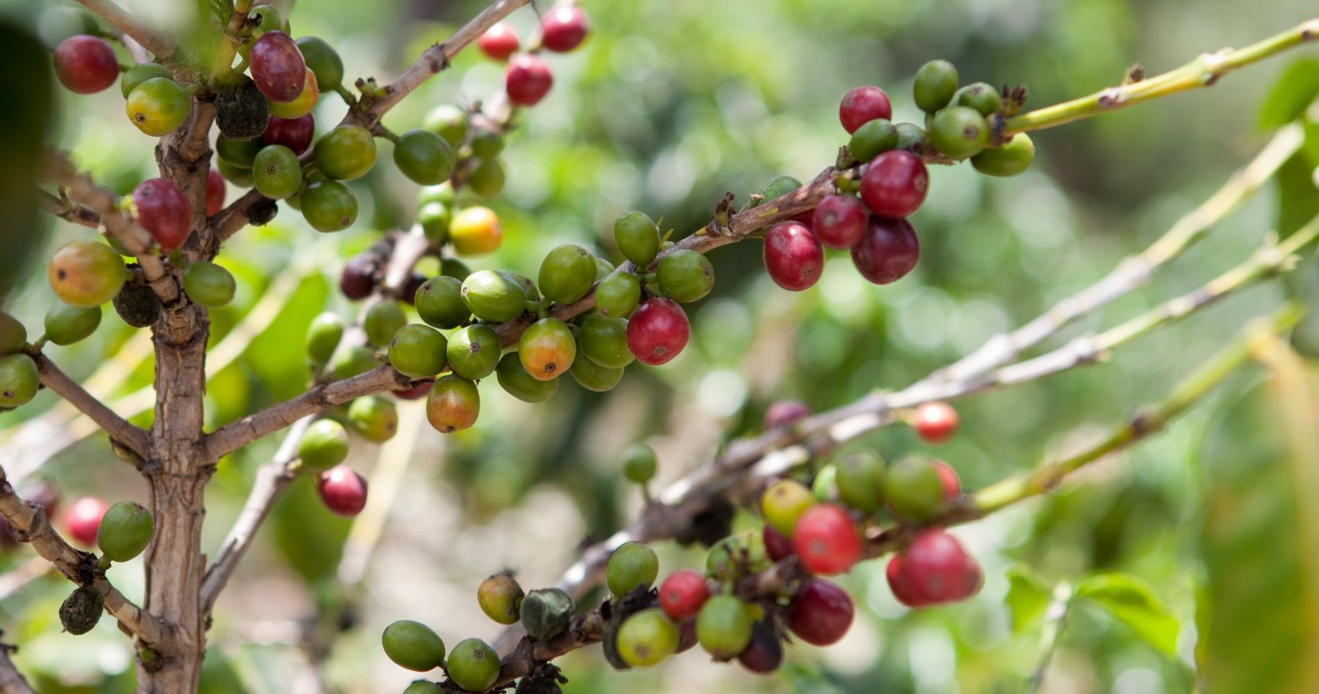 Visit Coffee Farm Costa Rica Tinggly Experience Gifts