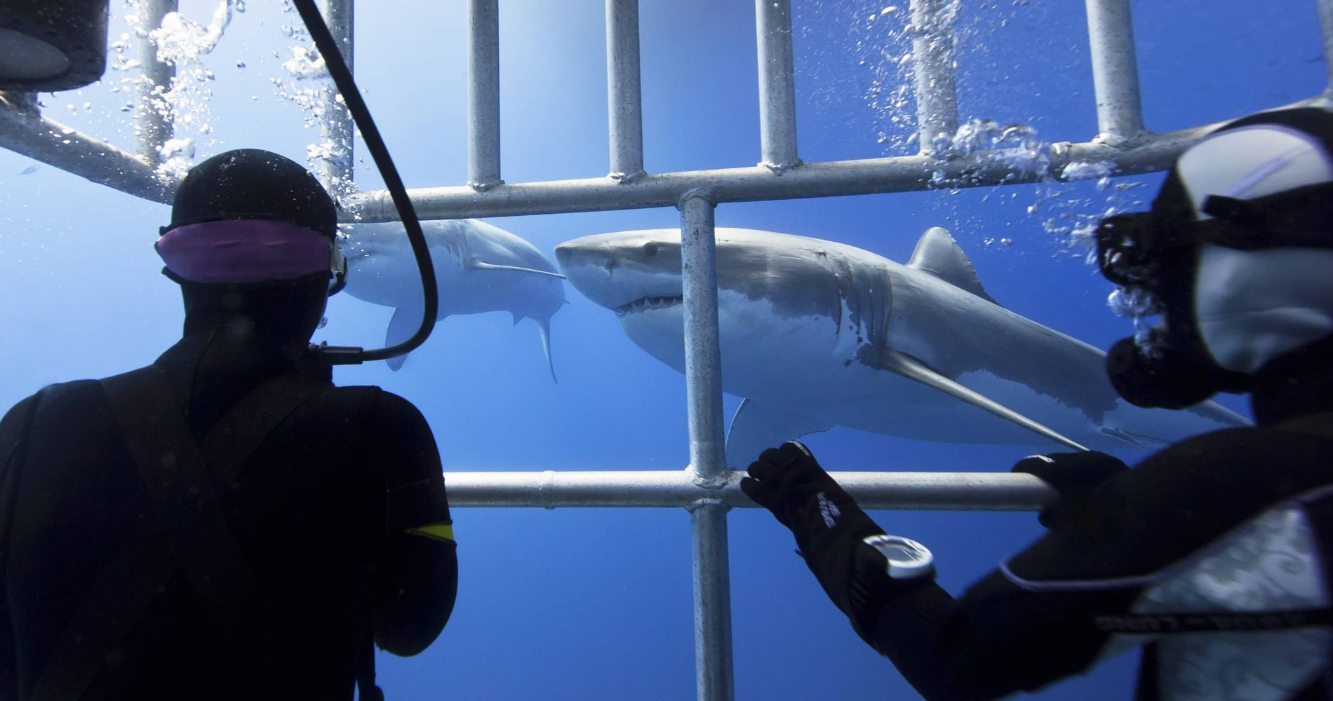 Encounter with Sharks in New Zealand