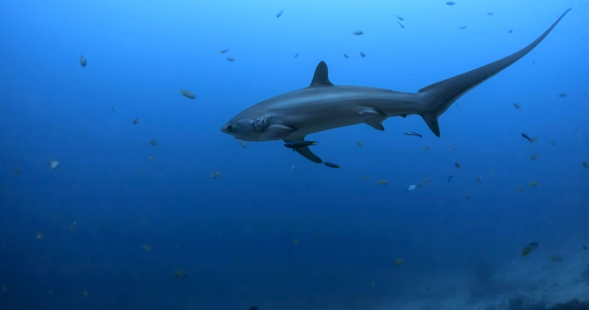 Unforgettable Dive with Thresher Sharks in Philippines for Two