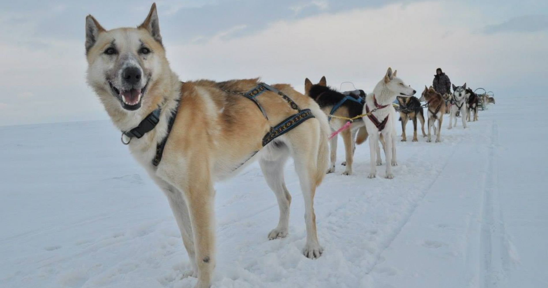 Incredible 9 day dog-sled expedition Russia Tinggly Experience Gif