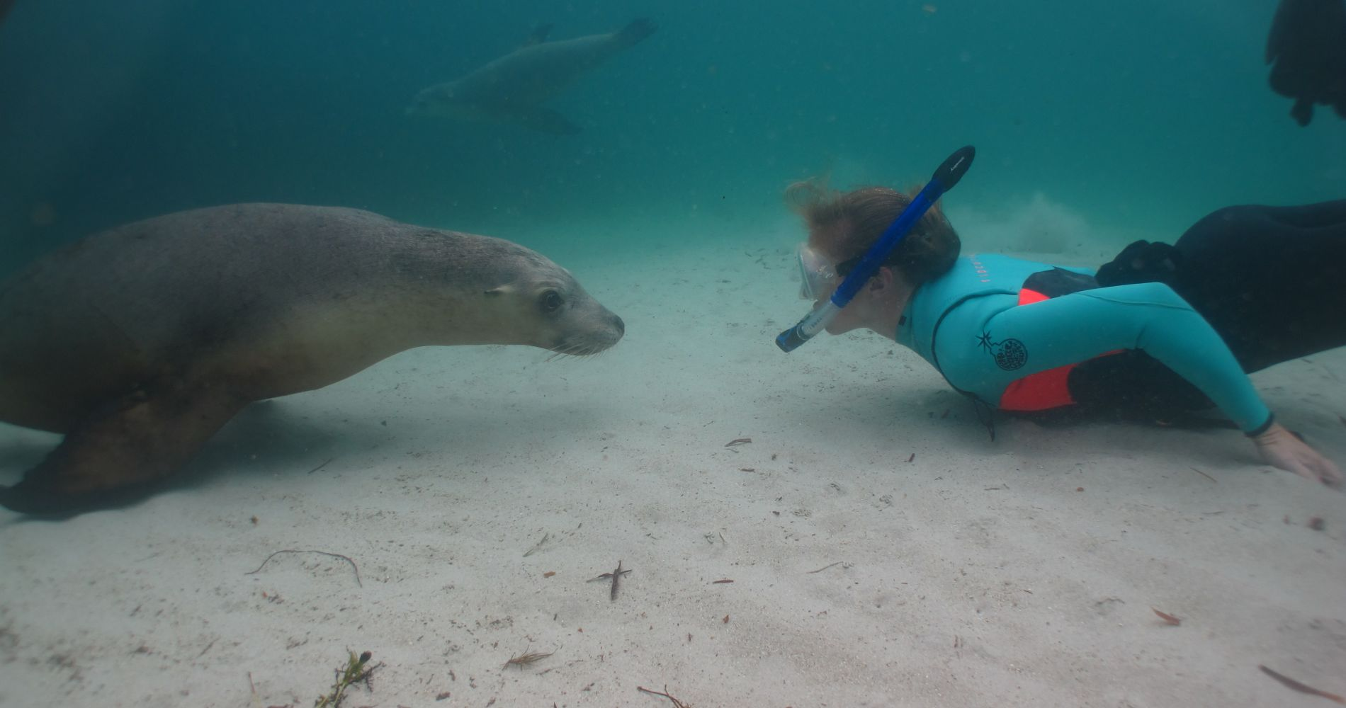 Swimming with sea lions experience gifts