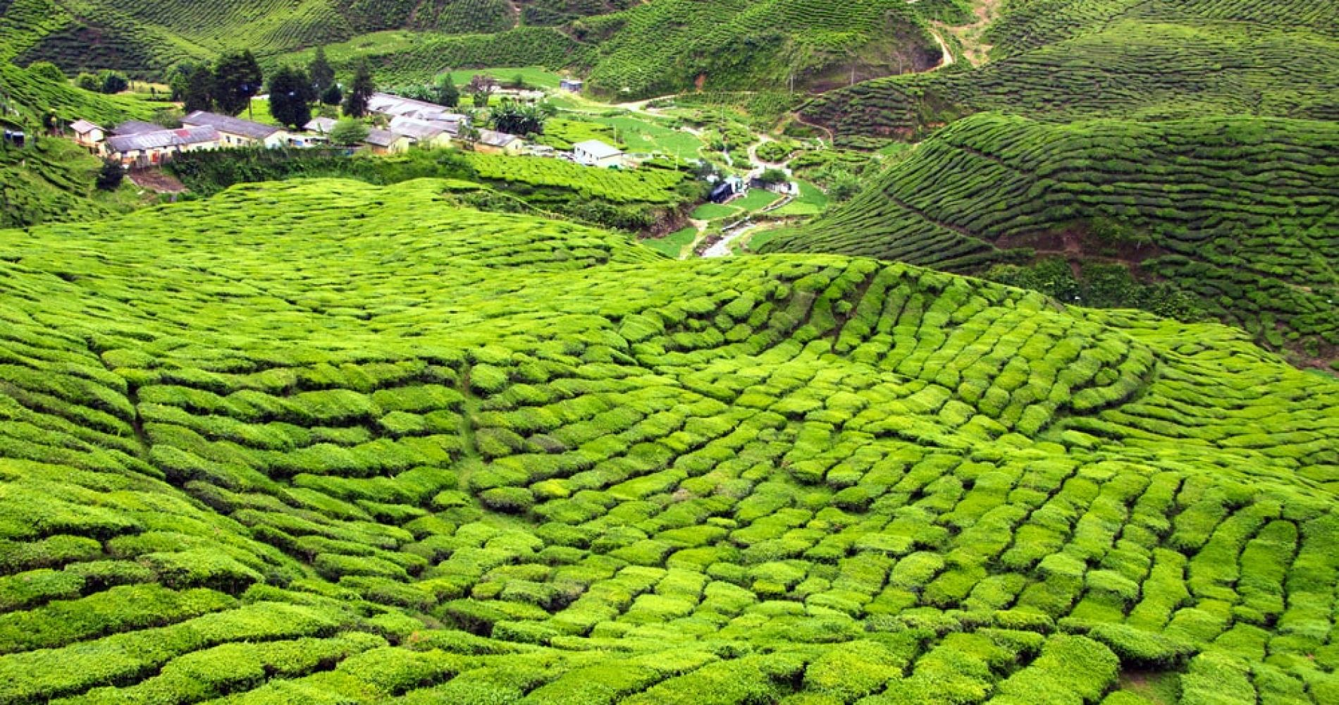 Enjoy the views of Tea Plantation in Cameron Highlands in Malaysia