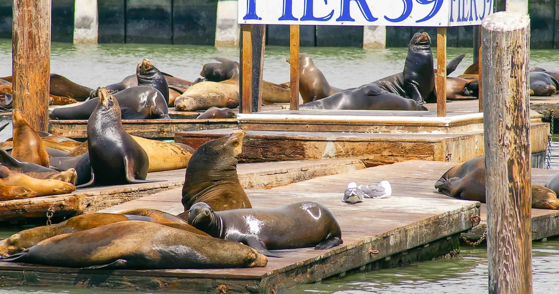 Listen to the Sea Lions at Pier 39 in San Francisco
