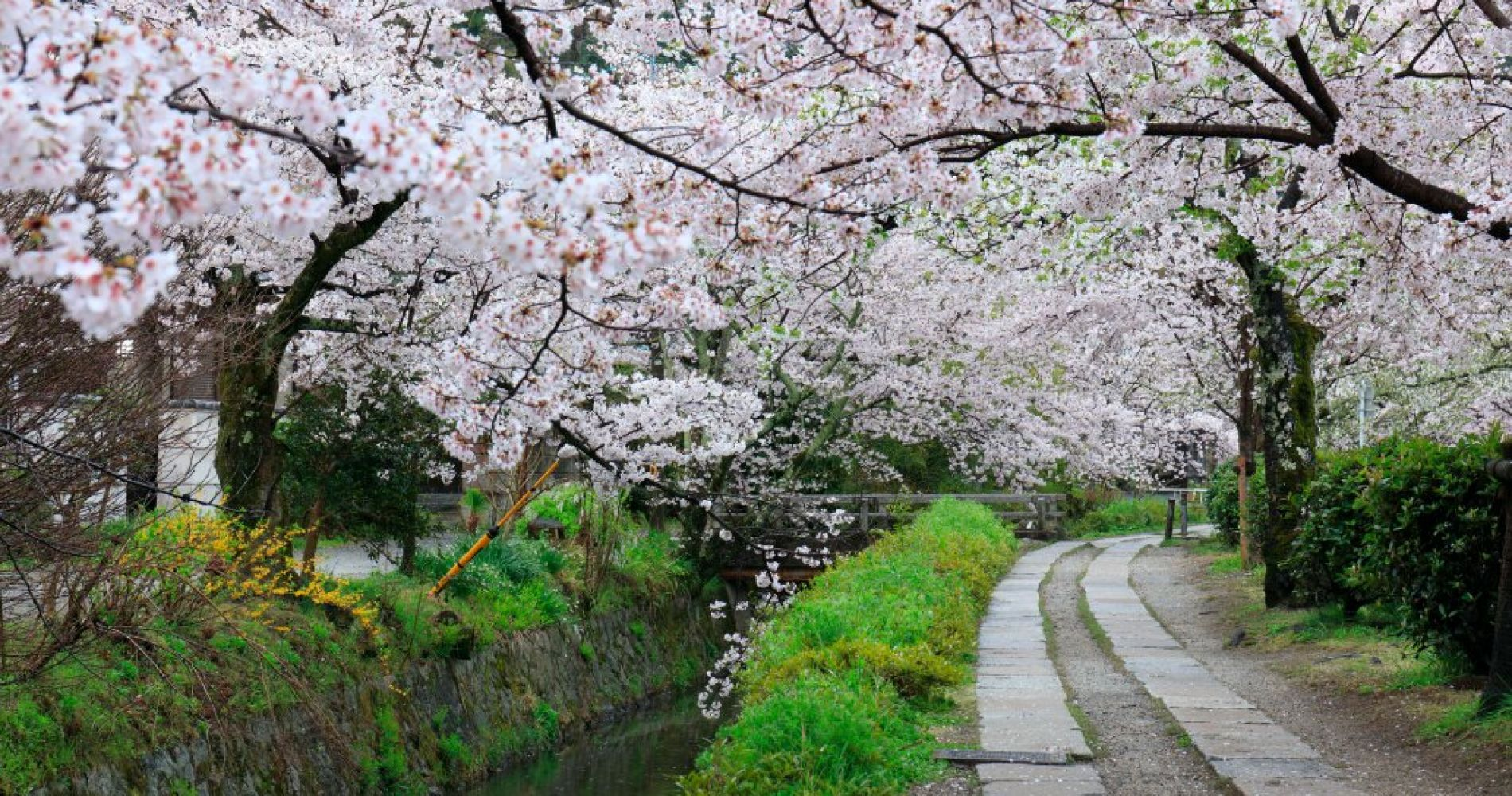 Philosopher's Path During Cherry Blossom