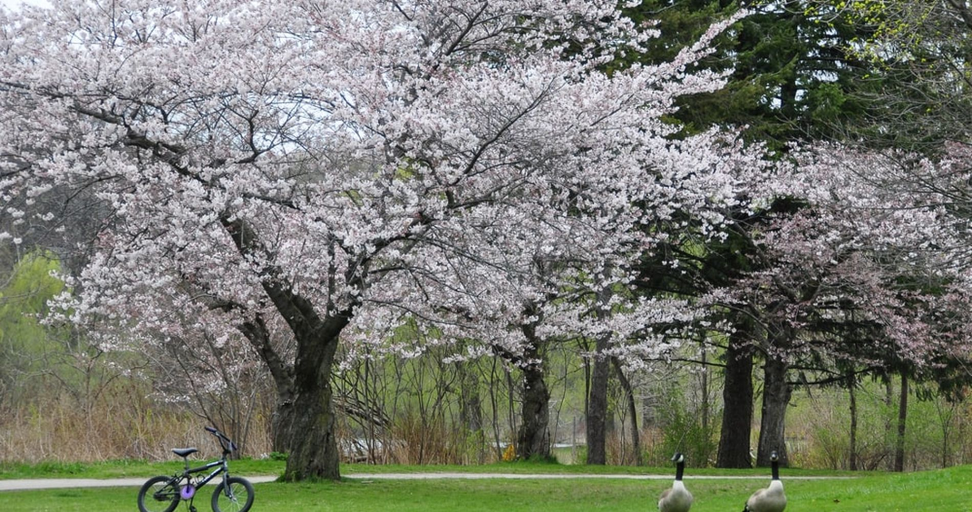 Visit High Park in Toronto During Cherry Blossom Seasson